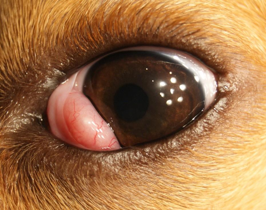 Собака Похудел Глаза Гноятся. Почему у собаки гноятся глаза? У собаки гноятся глаза: что делать, чем закапать?