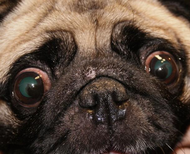Пигментозный кератит у собак: причины, симптомы, лечение